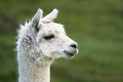 Close-up profile of a white llama's head, outdoors.