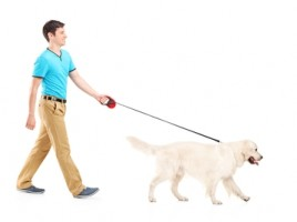 man walking Labrador dog
