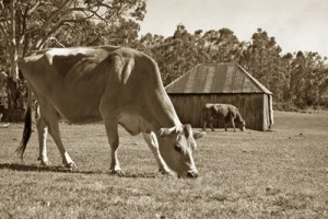 cows_sepia