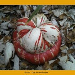 potiron-giraumon-turban